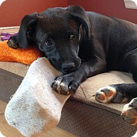 Adopt A Pet :: Betty Boots - Knoxville, TN
