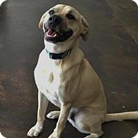 Adopt A Pet :: Brad - Suwanee, GA