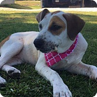 Adopt A Pet :: Sweet Addy - Glastonbury, CT