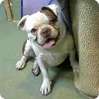 English Bulldog/Boston Terrier Mix Puppy for adoption in San Bernardino, California - URGENT on 5/20@DEVORE San Bern