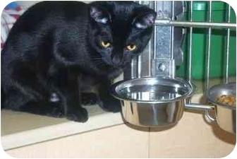 Domestic Shorthair Kitten for adoption in Newburgh, New York - Velvet