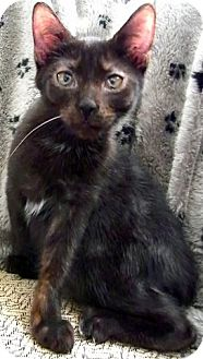 Domestic Shorthair Cat for adoption in Alexandria, Virginia - Budd