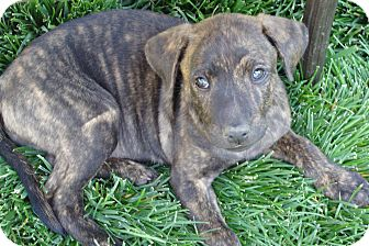 Boxer Mix Puppy for adoption in Tustin, California - Cookie