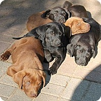 Adopt A Pet :: Judd Litter - Little Rock, AR