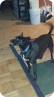 Rat Terrier Mix Dog for adoption in Savannah, Tennessee - Hannah