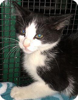 Domestic Shorthair Kitten for adoption in Porter, Texas - Matt
