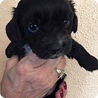 Adopt A Pet :: Spirit Puppy - Encino, CA