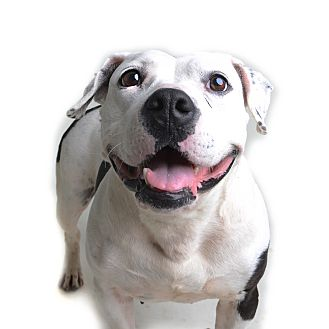 Pit Bull Terrier Mix Dog for adoption in Wilmington, Delaware - Ting