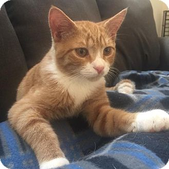Domestic Shorthair Cat for adoption in Virginia Beach, Virginia - Tigger