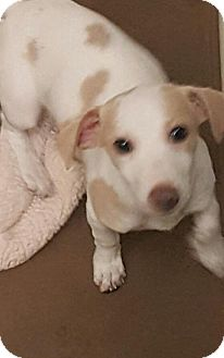Dachshund/Rat Terrier Mix Puppy for adoption in Las Vegas, Nevada - Penny's Lily