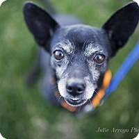 Chihuahua/Miniature Pinscher Mix Dog for adoption in Phoenix, Arizona - Killer Swag