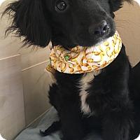 Adopt A Pet :: Nala - Spring, TX