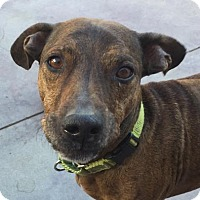 Dachshund Mix Dog for adoption in Palm Springs, California - Charlie Brown