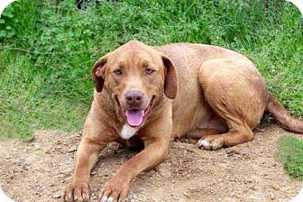 Labrador Retriever/Weimaraner Mix Dog for adoption in Portland, Maine - BILLY RAY