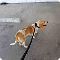 Adopt A Pet :: A1055873 - Bakersfield, CA