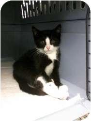 Domestic Shorthair Kitten for adoption in Medford, New Jersey - Blanca