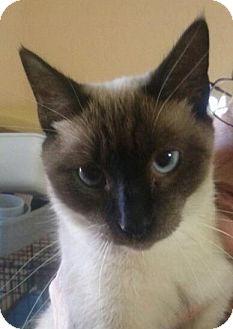 Siamese Cat for adoption in Lantana, Florida - Snowie