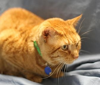Domestic Shorthair Cat for adoption in Winston-Salem, North Carolina - Ginger Joe