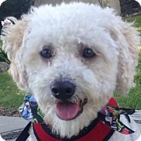 Adopt A Pet :: Ollie - La Costa, CA