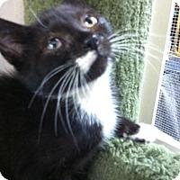 Adopt A Pet :: Trinket - Trevose, PA