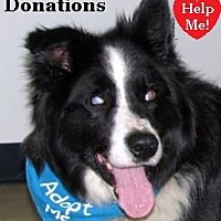 "Border Collie Dog for adoption in Minerva, Ohio - Stevie Wonder""I'M ADOPTED"""