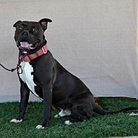 Mastiff/American Bulldog Mix Dog for adoption in Palm Springs, California - Monkey