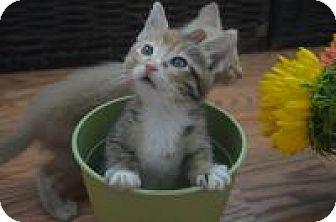 Domestic Shorthair Kitten for adoption in Mission Viejo, California - Foxy