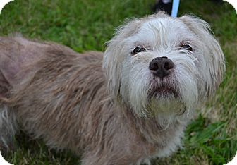 Shih Tzu/Pit Bull Terrier Mix Dog for adoption in Michigan City, Indiana - Rocky