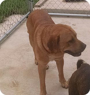 Labrador Retriever Mix Dog for adoption in Jacksonville, Texas - Chico