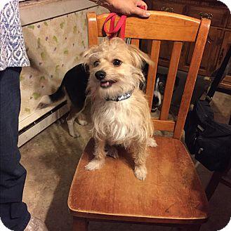 Yorkie, Yorkshire Terrier/Terrier (Unknown Type, Medium) Mix Dog for adoption in Glastonbury, Connecticut - Toby