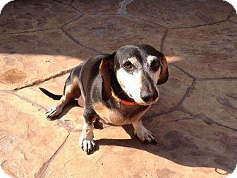 Dachshund Dog for adoption in Huntington, New York - Ollie - N - ADOPTION PENDING