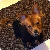 Adopt A Pet :: ROMAN - Westmont, IL