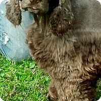 Adopt A Pet :: Cocoa - Flushing, NY