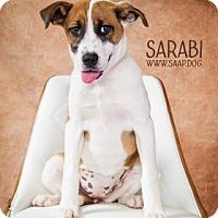 Adopt A Pet :: Sarabi - Newport, KY