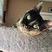 Domestic Shorthair Cat for adoption in St. Louis, Missouri - Twyla