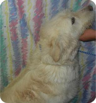 Labradoodle Dog for adoption in Antioch, Illinois - Beauregard ADOPTED!!