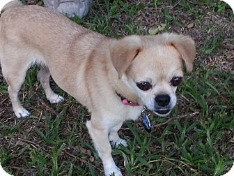Pug/Chihuahua Mix Dog for adoption in Austin, Texas - Izzy