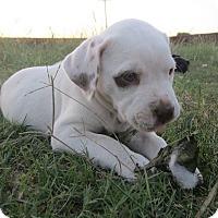 Adopt A Pet :: Hazel - Copperas Cove, TX