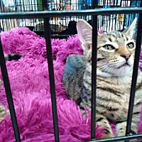 Domestic Mediumhair Cat for adoption in St. Cloud, Florida - Pablo