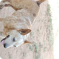 Adopt A Pet :: Quigley - Denver City, TX