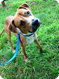 Hound (Unknown Type) Mix Dog for adoption in Sayville, New York - King