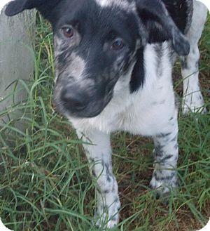Anatolian Shepherd Mix Puppy for adoption in Ball Ground, Georgia - McGhee