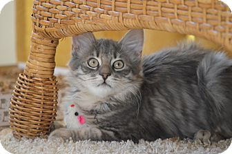 Domestic Mediumhair Kitten for adoption in El Dorado Hills, California - Milkshake