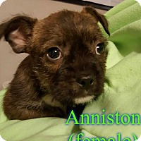 Boston Terrier/Cairn Terrier Mix Puppy for adoption in Pensacola, Florida - Anniston