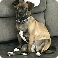 Adopt A Pet :: COCOA BEAN - Rancho Cucamonga, CA