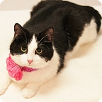 Domestic Shorthair Cat for adoption in Richardson, Texas - Lovey