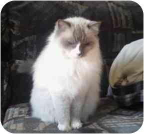 Ragdoll Cat for adoption in Keizer, Oregon - Belle in Bend, OR