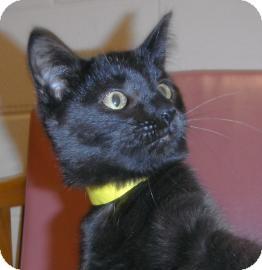 Domestic Shorthair Kitten for adoption in Jackson, Michigan - Flash