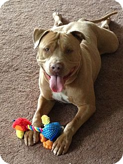 American Pit Bull Terrier Mix Dog for adoption in San Diego, California - Butterscotch