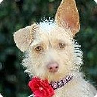 Adopt A Pet :: Tequila SLO Petsmart Sat. - Atascadero, CA